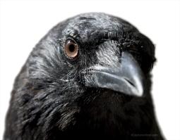 Crow-0056-A01