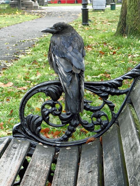 crow on a bench