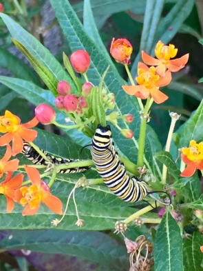 Two on a desert Milkweed