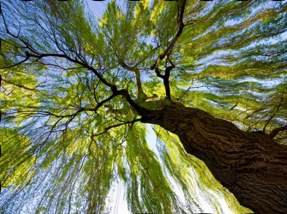 willow_tree__christchurch__new_zealand