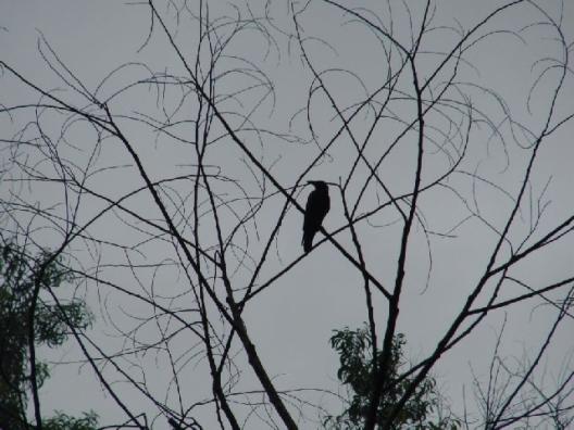 crow in rain
