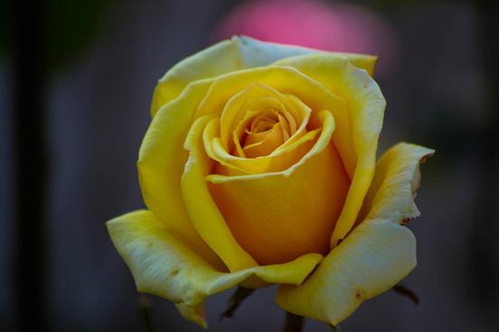 yellow_rose_514073
