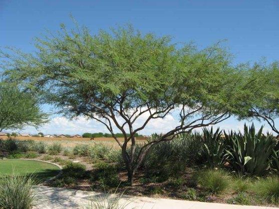 chilean-mesquite