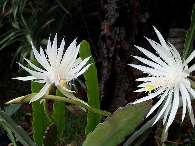 night-blooming-cereus-14557_640