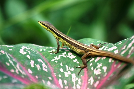26510901 - green lizard is peeping from cluster of green flowers
