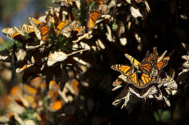 butterflies-807534_640