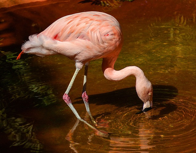 flamingo-1040451_640
