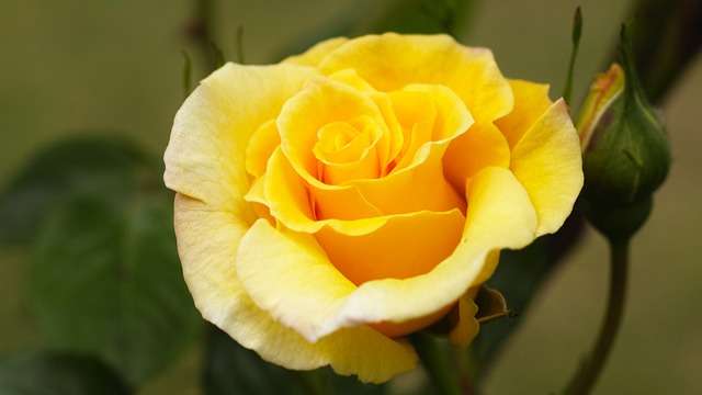 rose-944357_640