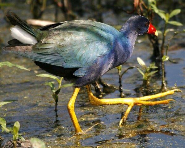 Big foot Bird- Purple Gallinule