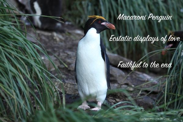 Macaroni_Penguin_amid_Tussock_Grass_(5892940910)