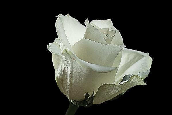 white-rose-2331800_1280