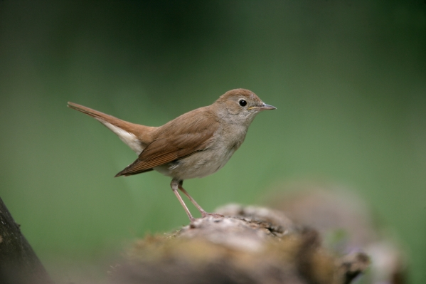 Nightingale, Luscinia megarhynchos,