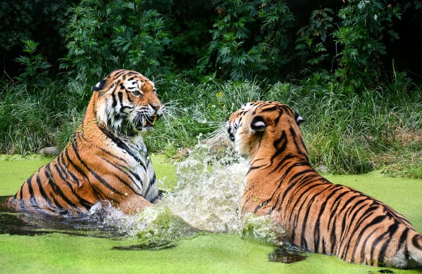 tiger-1537698_1280