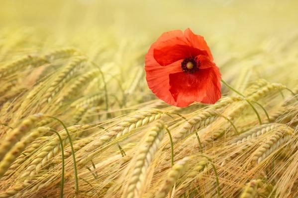 poppy-1537699_1920