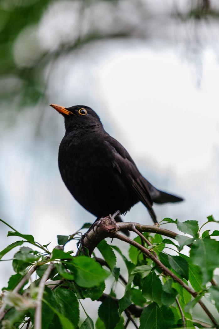 blackbird-1348356_1920