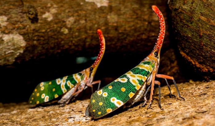 canthigaster-cicada-327813_1920