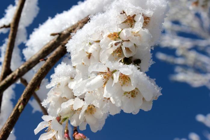 cherry-blossom-1353900_1920