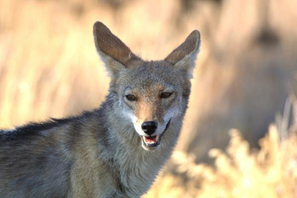 coyote-1622666_1280