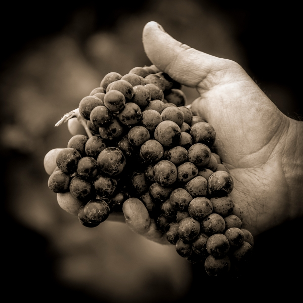 Farmers hands with freshly harvested black grapes