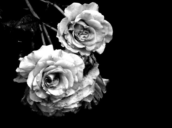 rose-2710068_1920