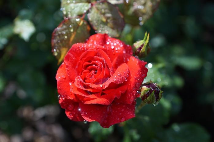 rose-809158_1920