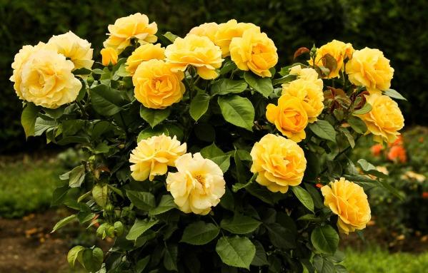 rose-bush-170225_1920