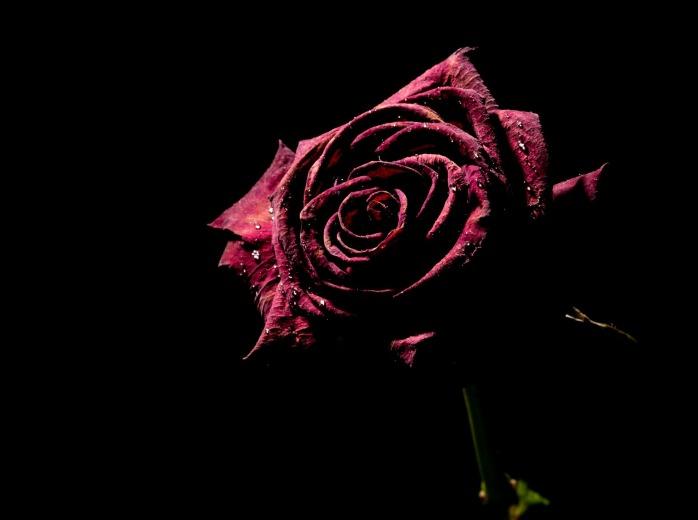 roses-316749