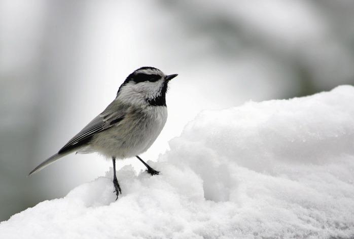 mountain-chickadee-1173803_1920