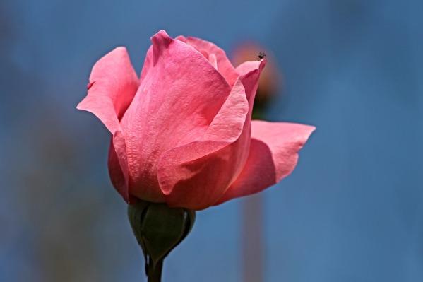 rose-2710923_1920