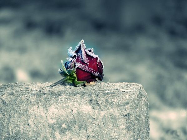 rose-2976674_1920