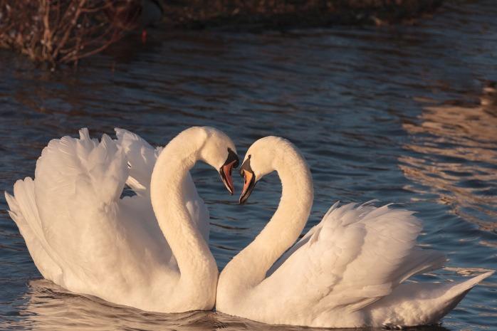 swans-2116649_1920