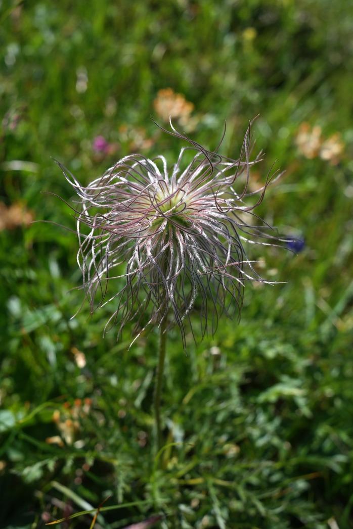 alpine-pasqueflower-1837783_1920
