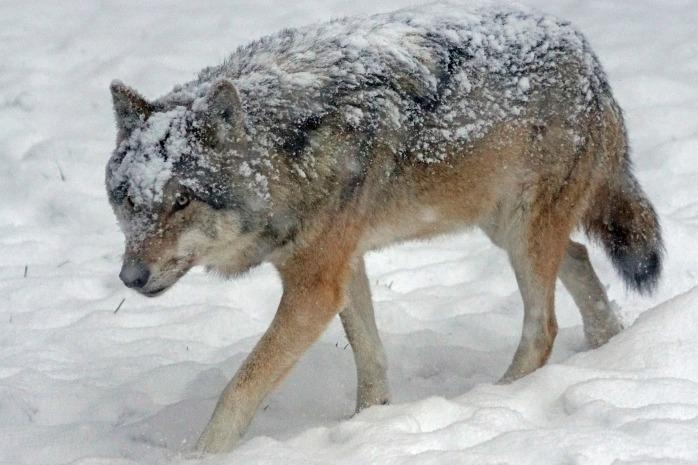 wolf-1955518_1920