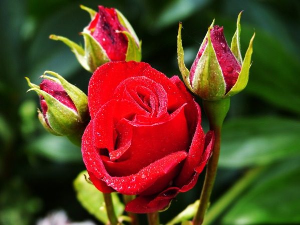 rose-1488659_1920