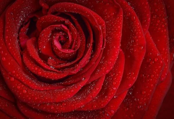rose-1642970_1920