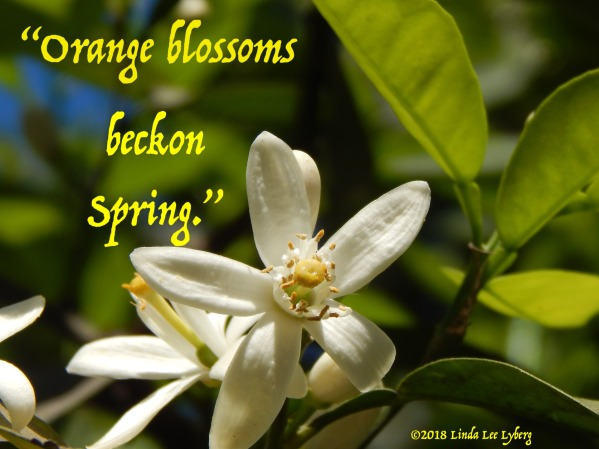 orange-blossom-2629572_1920