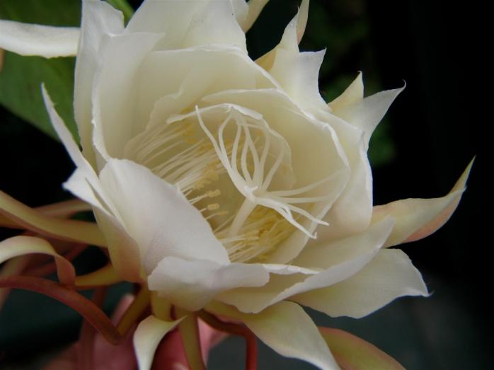 Night_Blooming_Cereus_(Epiphyllum_oxypetalum)