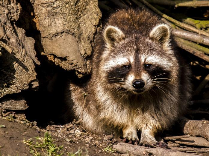 raccoon-2392201_1280