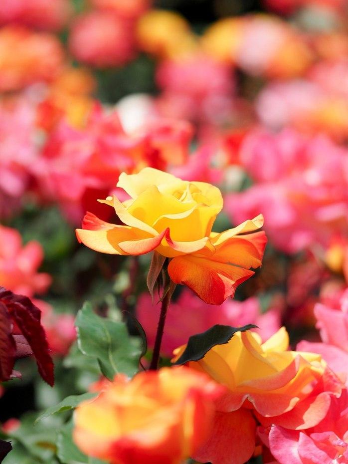 Rose,_Rio_Samba,_バラ,_リオサンバ,_(21898609684)