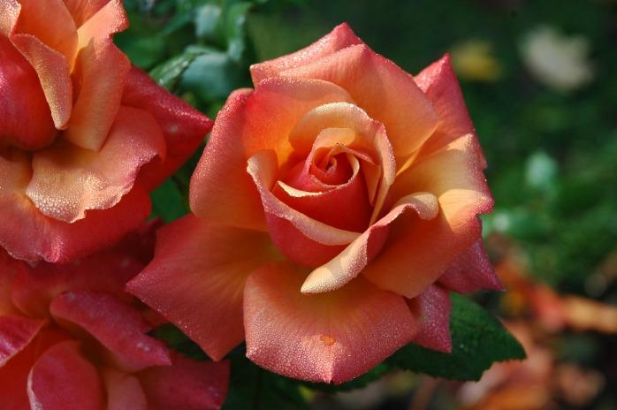 roses-194490_1280
