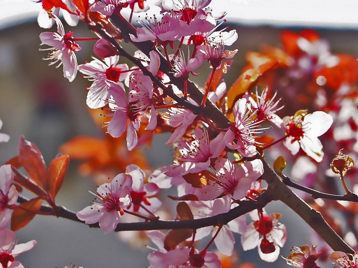 blood-plum-940663_1280.jpg