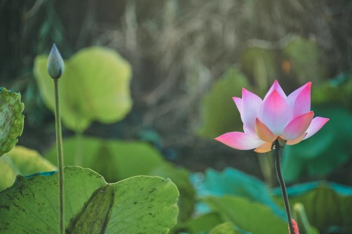grass-green-flower-plant-lotus-sacred-lotus-1437249-pxhere.com.jpg