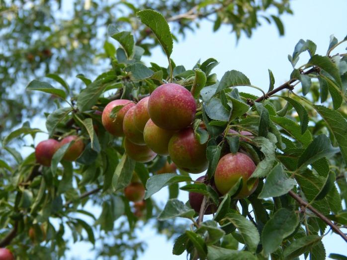 plums-913318_1280