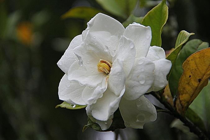 gardenia-178719_1280