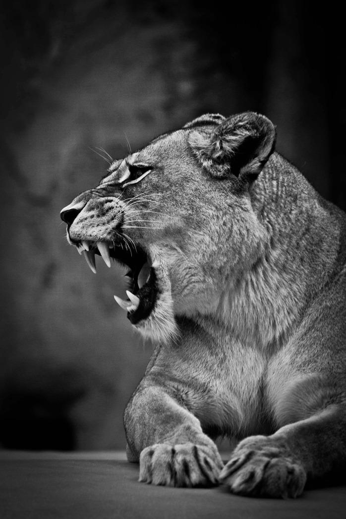 lioness-753438_1280