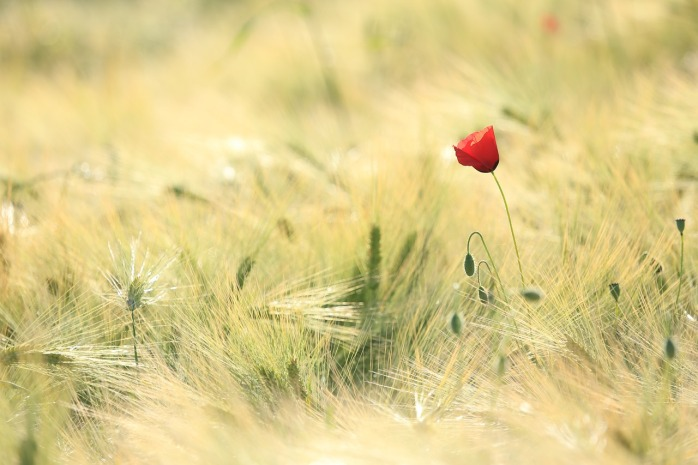 poppy-1144084_1280