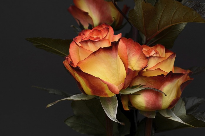 rose-3063284_1280