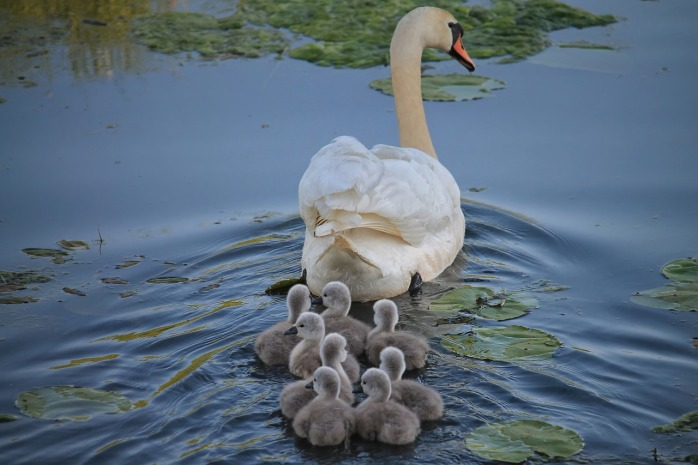 swan-3299528_1280