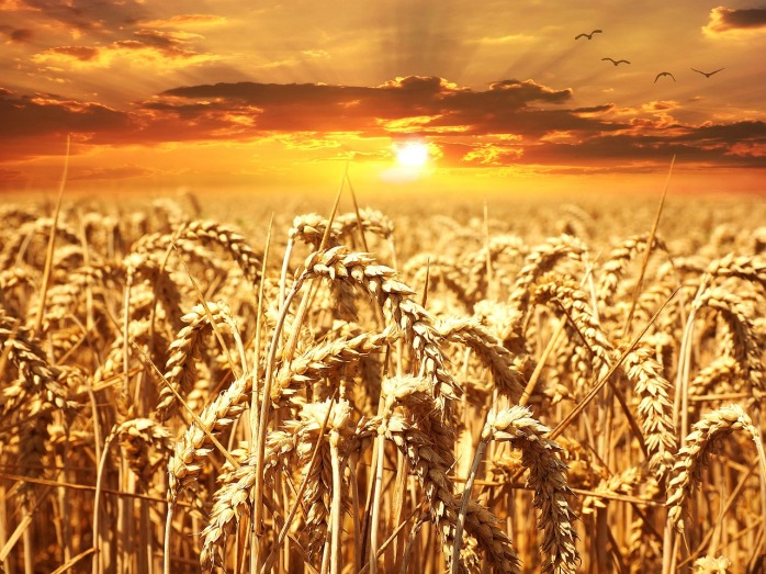 wheat-field-640960_1280