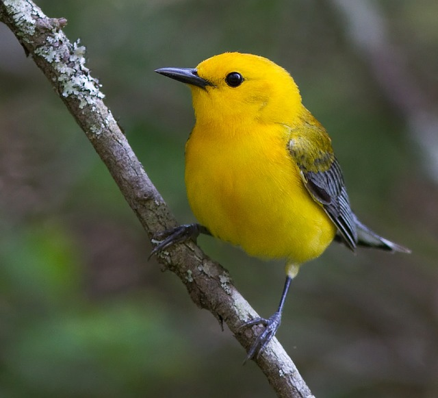 prothonotary-warbler-947337_640